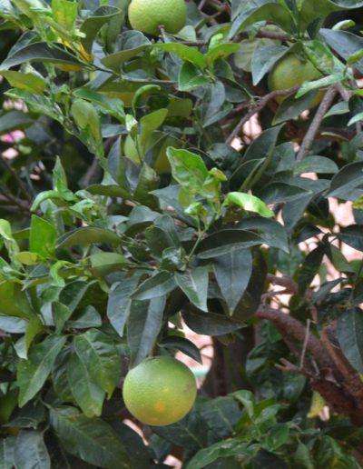 fresh lemon tree formentera vila eloisa