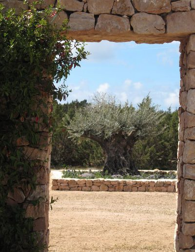 very acient olive's tree in villa eloisa