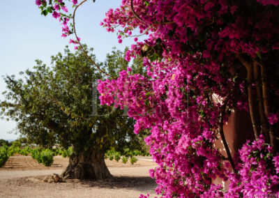 stunning olive tree in the garden of villa Barbara for rent in formentera
